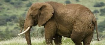 elefant gravid hvor længe