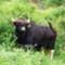 Indisk gaur