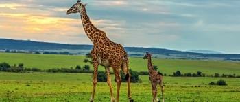 hvor højt kan en giraf blive