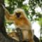 Gylden løve abe i Indien