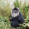 Gylden løvehale makak i Indien