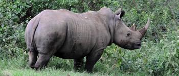 hvor hurtigt kan et næsehorn løbe