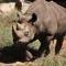 Næsehorn i Indien