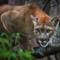 Rejs til Costa Rica og oplev pumaen