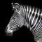 Zebra i Sydafrika