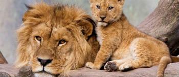 fakta om løver