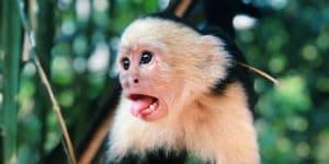 På din rejse til Costa Rica kan du se vilde capuchib aber