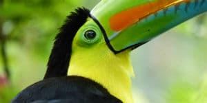 Tucan fuglen lever i Costa Rica