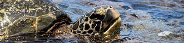 I Costa Rica lever der mange skildpadder
