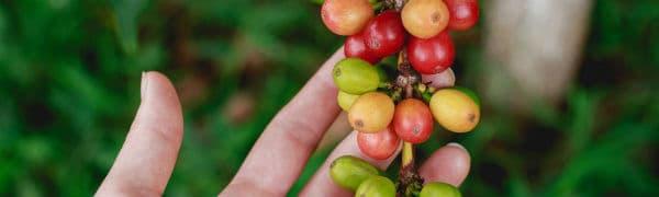 Kaffeplantage i Costa Rica