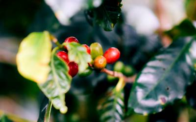 Besøg en kaffeplantage i Mellemamerika