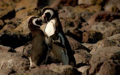 Mød masser af pingviner når du rejser i Argentina