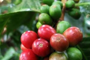 Kaffeplante i Colombia