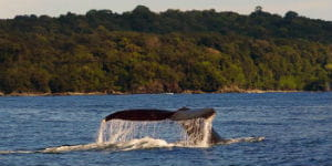 Det varme klima i Colombia giver mulighed for hvalsafari
