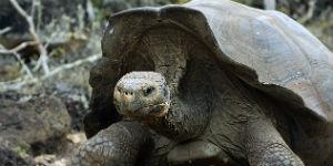 Der er mange store skildpadder på Galapagos øerne