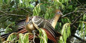 Der er mange specielle fugle i Amazonas junglen