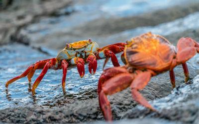 Krabber på Galapagos øerne
