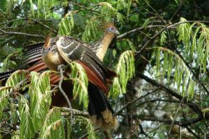 Fugl i Ecuador