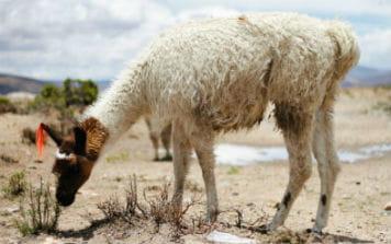 rejs til Peru og oplev Alpaca