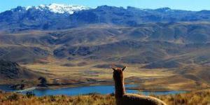 Lama i Peru
