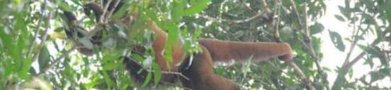 Abe i Amazonas regnskov i Peru