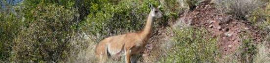 Dyr ved Colca i Peru