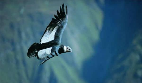Fugl ved Colca Canyon i Peru