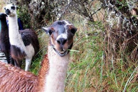 Der er mange lamaer på Inkastien mod Machu Picchu